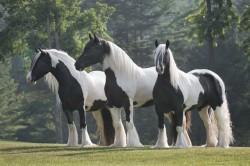 stillwater farm: gypsy vanners gypsy vanner horses